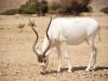 Antilope, Negev - Israel
