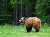 Grizzly, Yukon-Territorium - Kanada