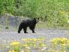 Schwarzbär, Alberta - Kanada